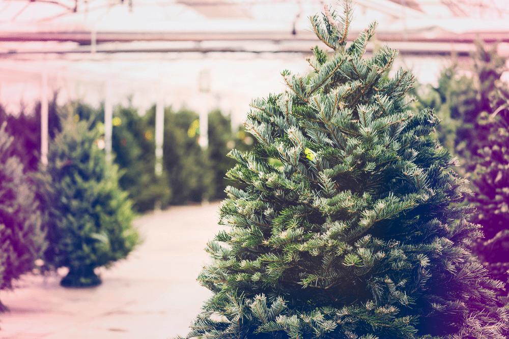 Christmas Tree Farm Near Me.Christmas Tree Farms Near Waldorf Md Waldorf Toyota